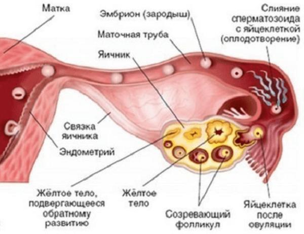 Что такое желтое тело в яичнике и что оно означает