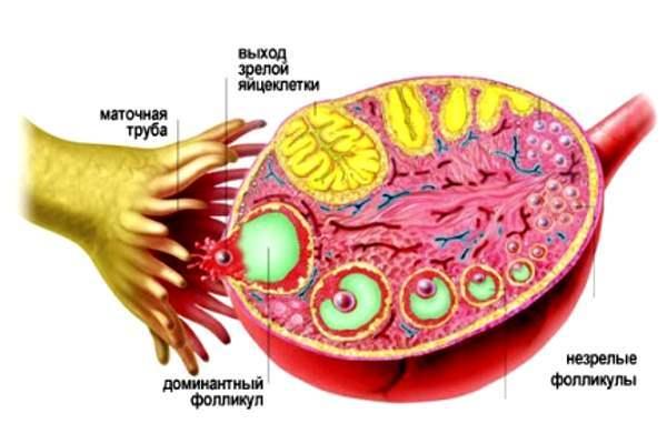 Как родить детей если нет фолликулов в яичниках на УЗИ: лечение
