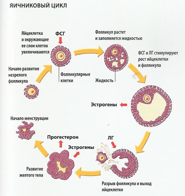 Запас яйцеклеток женщины анализ
