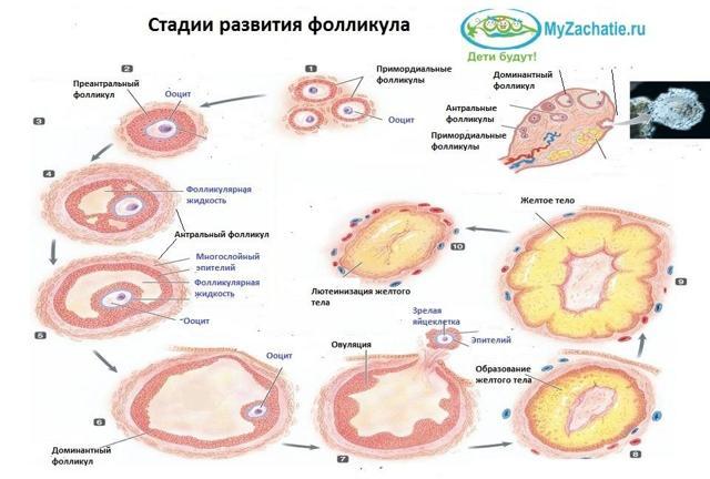Фолликулы в яичниках - что это такое, количество, норма, размер