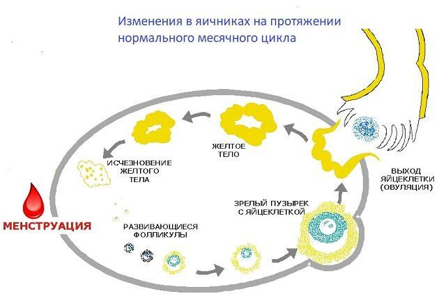 Желтое тело в левом яичнике при беременности на ранних сроках