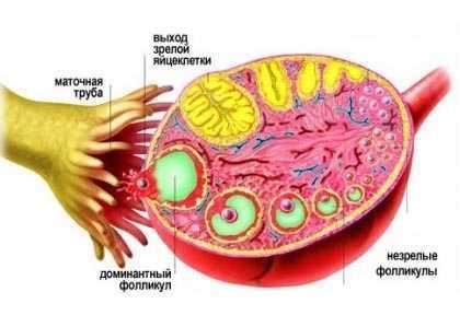 Фолликулы в яичниках: норма, количество, отклонение