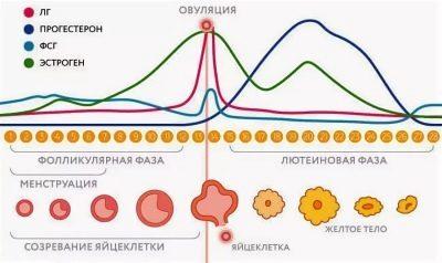Секс во время овуляции: особенности, вероятность зачатия