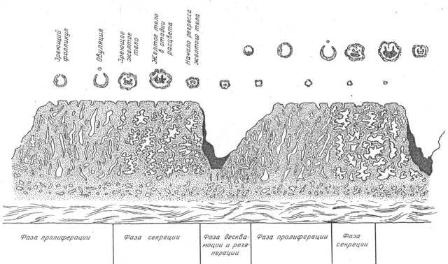 Толщина эндометрия по дням цикла в норме и при патологии