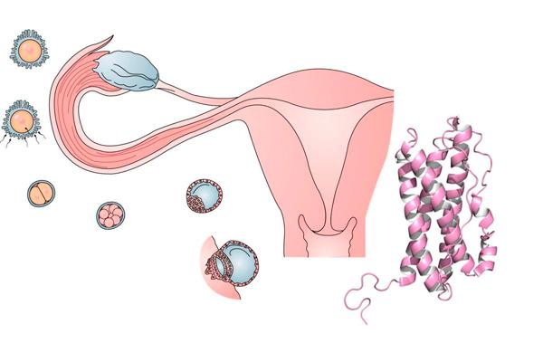 Пролактин: на какой день цикла сдавать и для чего это нужно делать