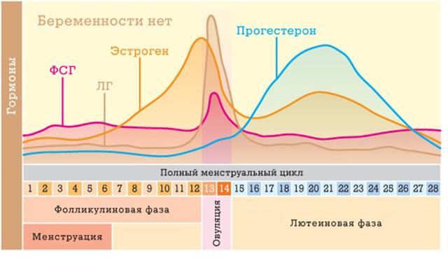 Желтое тело после овуляции: функции, стадии развития