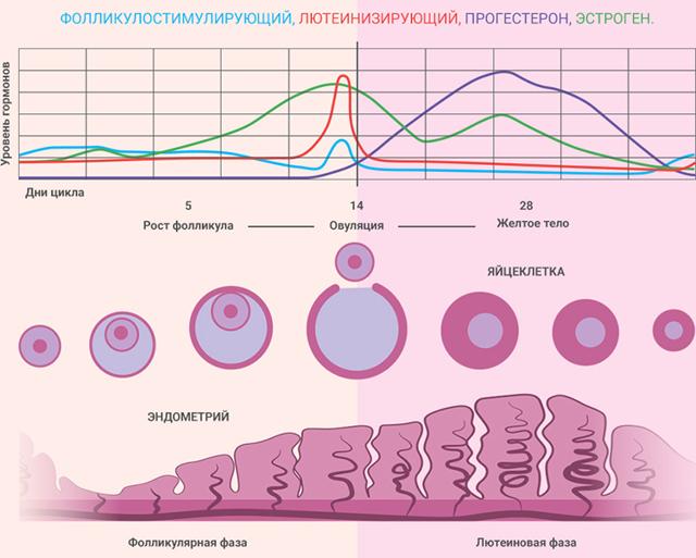 Эстрадиол понижен: причины, симптомы и лечение