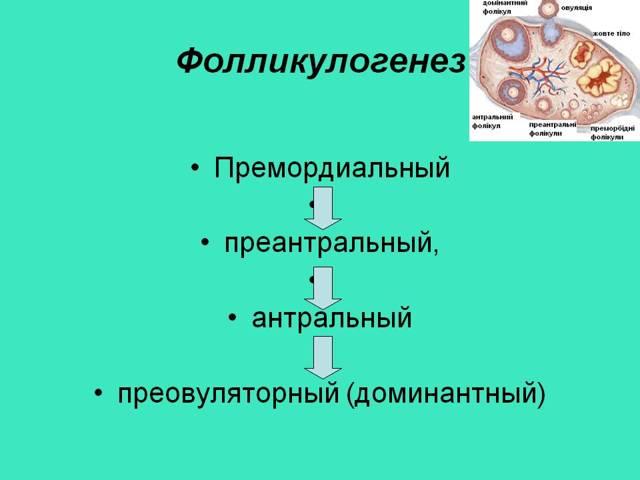 Фолликулогенез: что это такое, мониторинг фолликулогенеза