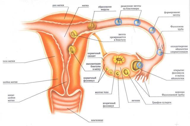 Кровотечение в середине цикла: вариант нормы или патология