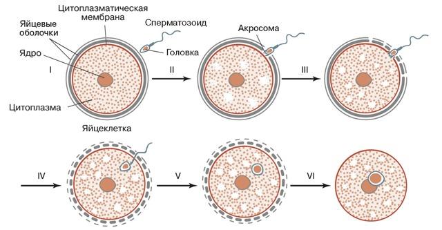 Как происходит зачатие ребенка от момента оплодотворения